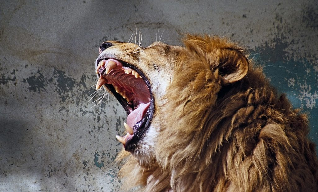 how to be a winner lion